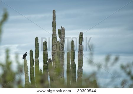 vulture buzzard birds on cactus in california