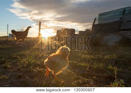 Brooding Hen And Chicks In A Farm
