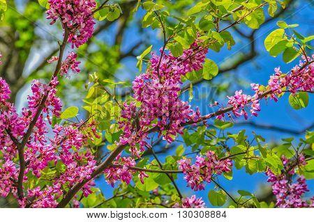 Judas Tree In Spring