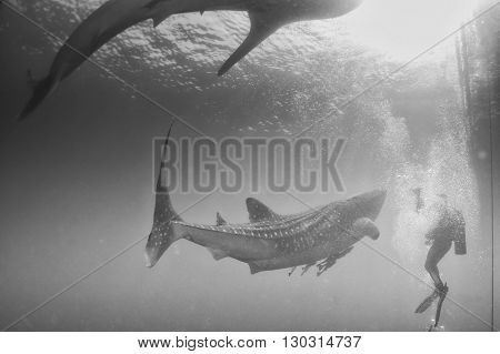 Whale Shark Close Encounter With Diver Underwater In Papua