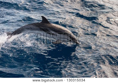 striped happy dolphin jumping outside the water
