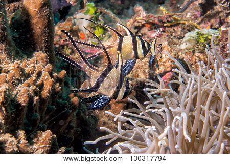 Cardinal Fish Detail Close Up While Diving