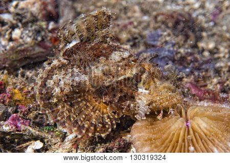 Colorful Scorpion Fish On Hard Red Coral Macro