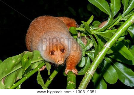 Cuscus Indonesian Endemic Monkey