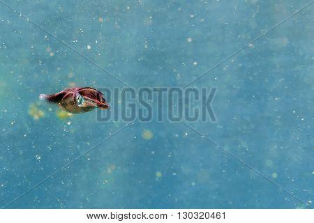 Squid Cuttlefish Underwater Close Up