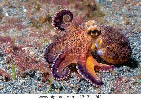 Coconut Octopus Underwater Macro Portrait On Sand