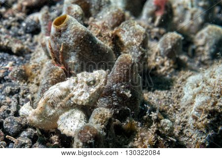 White Scorpion Fish Macro Close Up