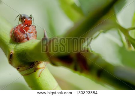 A Red Head Ant On Rose Branch