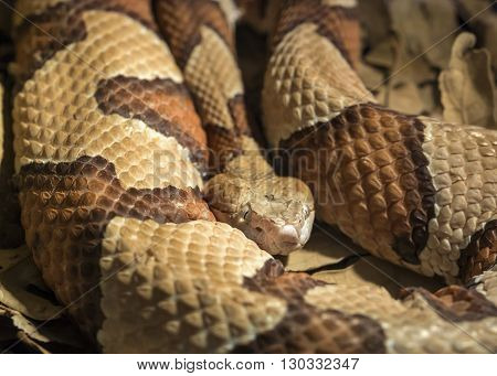 Copper Head poisonous snake Agkistrodon contortrix phaeogaster