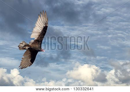 Buzzard Vulture Flying In The Deep Blue Sky