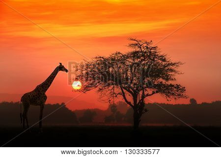 Red sunset with silhouetted African Acacia tree and a giraffe