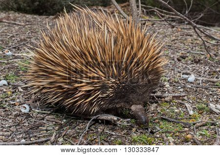 Echidna Australian Endemic Animal