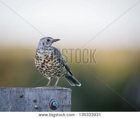 Mistle thrush (Turdus viscivorus) perched on post