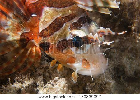 A Colorful Scorpion Fish Detail Cebu Philippines