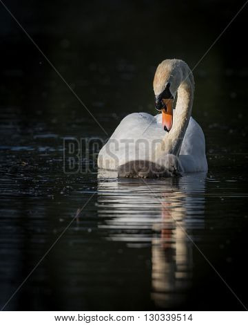 single swan and cygnet with reflection and ripples