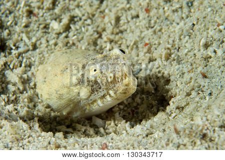 A Star Gazer Fish Eyes Detail While Hiding In The Sand In Cebu Philippines