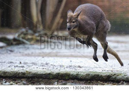 Kangaroo While Jumping Under The Rain