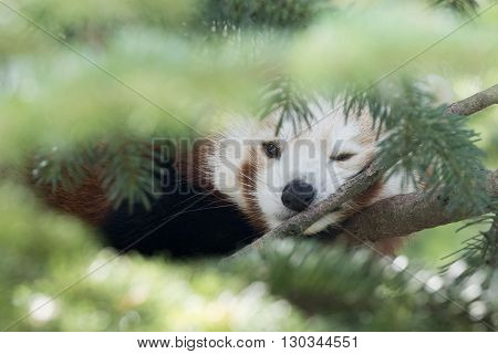 Red Panda On A Tree Close Up Portrait While Looking At You