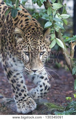 Jaguar Leopard Chetaa Close Up Portrait