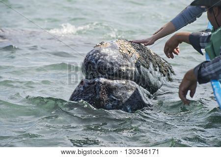 hands while caressing and touching a grey whale