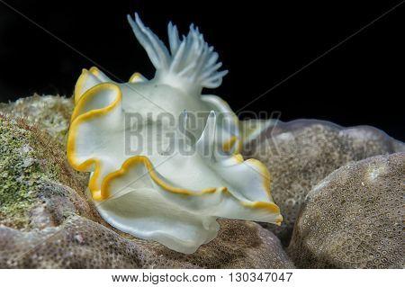 White Nudibranch