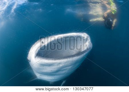Whale Shark And Diver Underwater