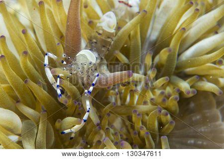 Shrimp On Soft Coral
