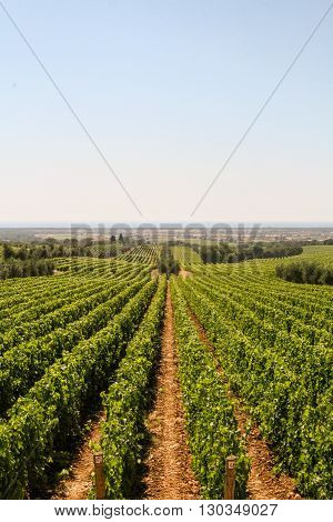Vast rows of green vineyards on the hills of Tuscany warm and sunny summer day
