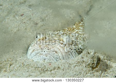 Stargazer Priest Fish While Hiding In Sand In Philippines