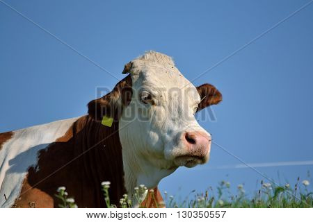 Cow is satisfied on the lush meadow