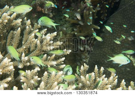 A School Of Fish Over Hard Coral In Philippines