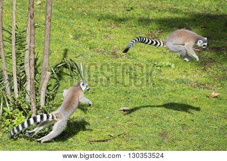 Lemur Monkey While Jumping