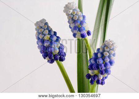 Blue Flowers Murine Hyacinth Buds bloom wallpaper