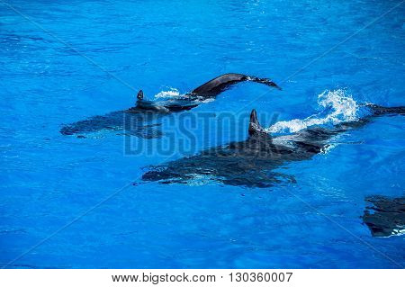 Orca Killer Whale Mother And Calf While Swimming