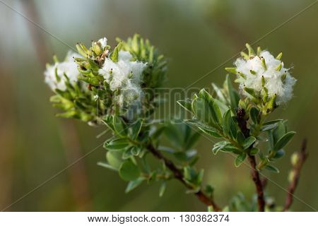Creeping willow (Salix repens) female catkins. Downy fluff surrounding finished flowers on low growing shrub with silky leaves in family Salicaceae