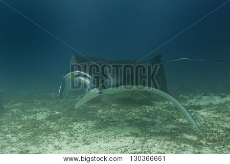 An Isolated Manta In The Blue And Sand Background