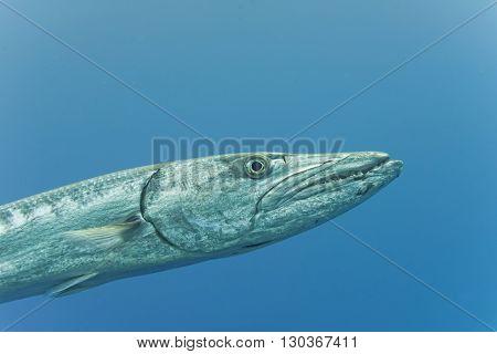 Barracuda Fish Underwater