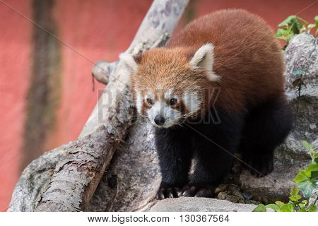 red panda while looking at you close up