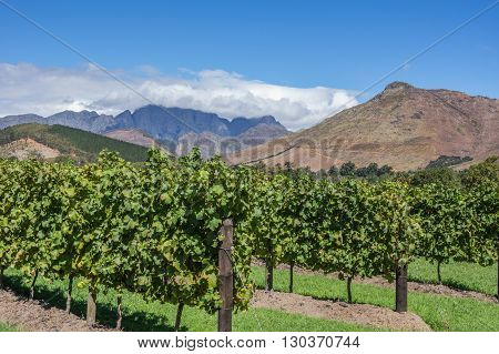 The Cape Winelands region is the premier wine producing area of South Africa
