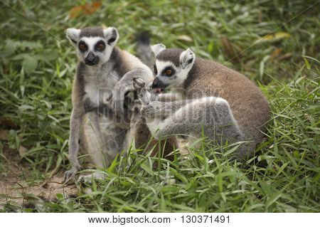 Two ring-tailed lemurs standing on the floor