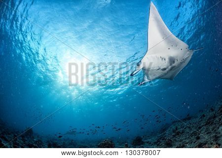 Manta In The Blue Background