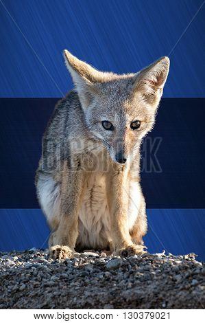 Blue Eyes Leicester Fc Champion Fox