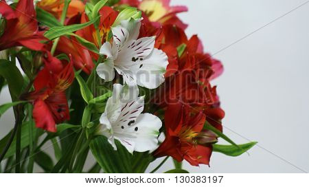 Alstroemeria - lily of the Incas. Closeup of flowers and buds of Alstroemeria on a white background.