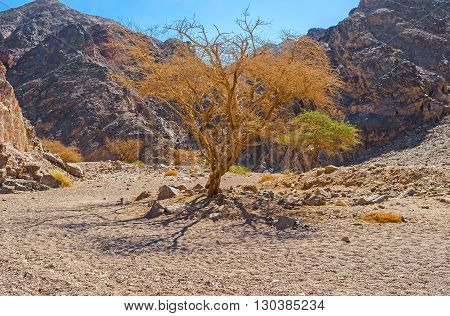 The scenic camel thorn trees - Acacia erioloba in valley of Eilat mountains Israel.