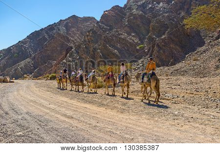 EILAT ISRAEL - FEBRUARY 24 2016: The Masiv Eilat Nature Reserve is the best place to get the camel riding experience on February 24 in Eilat.