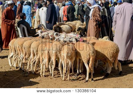 GUELMIM MOROCCO - OCTOBER 31 2015: Herd of sheep bound together for sale at the weekly market in the south Moroccan town of Guelmim.