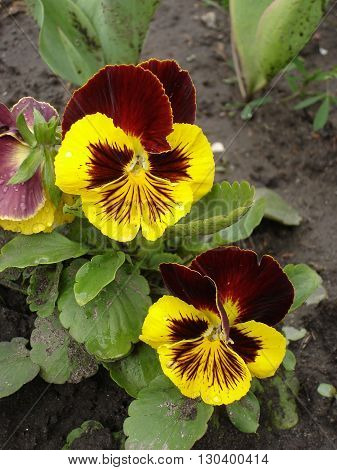 Two red and yellow blotch pansy flowers 'Majestic Giants'.