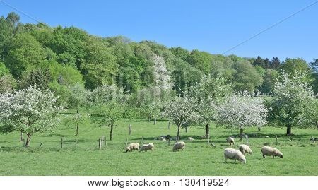 Springtime at Solingen Fruit Trail in Bergisches Land,North Rhine Westphalia,Germany