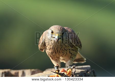 European Kestral falco tinnunculus perched on tree stump eating