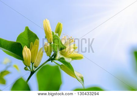 Water drops on white flowers and pollen of Murraya paniculata or Orange Jessamine under bright sunlight on blue sky background